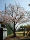 Sakura0410b