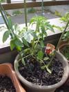 Tomato0506a