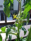 Tomato0520a