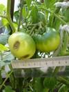 Tomato0619a