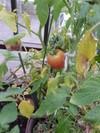 Tomato0630a_1
