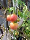 Tomato0722a