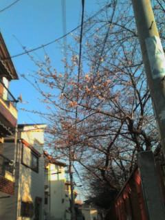 桜開花確認 大阪